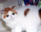 自家猫舍出售异国短毛猫 家养加菲猫幼猫本地可上