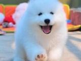 重庆萨摩耶犬多少钱 重庆萨摩耶犬哪家有纯种