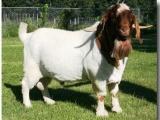 供应肉羊供应育肥羊供应肥种羊供应波尔羊供