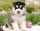 纯种哈士奇幼犬,血统纯正,品相好,骨量大,身体健康