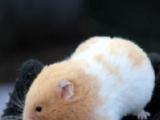 超级可爱的金丝熊宝宝出售