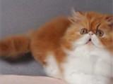 宁夏银川黄白加菲猫一般多少钱