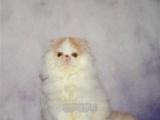 波斯猫、长毛波斯猫、白波斯猫、黄波斯蓝眼睛