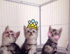 成都西米猫舍用心繁殖蓝猫给您最高的品质最合理的价格