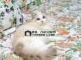 贵阳哪里卖宠物猫 贵阳哪里有正规狗场布偶猫的价格多少