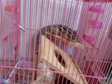 出售金花松鼠 已养一年 温顺亲人