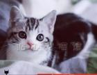 纯种美短 美国虎斑猫 独特虎斑 加白公母都有