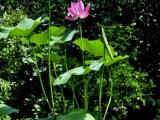 盆栽 荷花 碗莲种藕出售