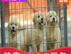 本地出售纯种金毛幼犬,十年信誉有保障