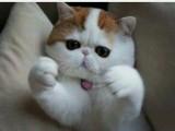 广州哪里有加菲猫卖 自家繁殖 品相极佳 多只可挑