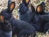 酒泉肃州养殖莲山黑兔纯种莲山黑兔莲山黑兔苗活体现货供应