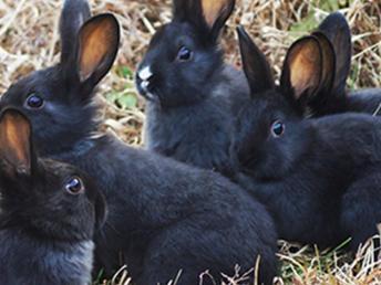 大理南澗種兔繁殖基地法國伊拉種兔出售伊拉兔活體