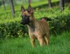纯种马犬,血统马犬,马犬训练