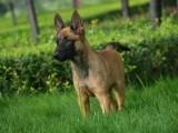 纯种马犬黑马犬价格,血统马犬,马犬训练