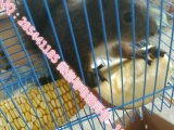 魔王松鼠养殖场一手现货随发出售魔王幼鼠全网最低价