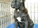 精品繁殖纯种双血统包健康卡斯罗犬杜高犬等各种大型犬猎犬等