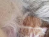 家庭繁育纯种加菲猫虎斑梵文