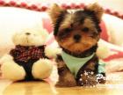 中国专业繁殖双血统约克夏犬舍 可以上门挑选
