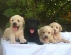聊城哪有拉布拉多犬卖 聊城拉布拉多犬价格 拉布拉多犬多少钱