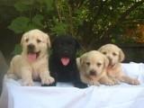 泉州养殖基地直销拉布拉多犬及其它幼犬 签协议 送用品