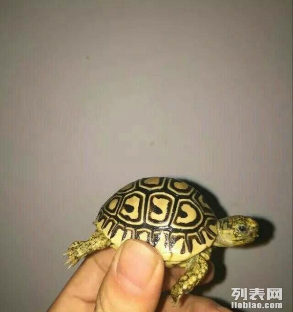 蜴守宫变色龙蛇刺猬吃菜龟包邮