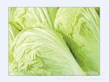 低价供应无公害绿色蔬菜大白菜 新鲜优质大白菜