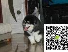 n阿拉斯加雪橇犬西伯利亚纯种雪橇犬出售专业繁殖阿