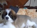 东莞出售圣伯纳可卡泰迪哈士奇萨摩耶秋田德牧阿拉斯加等各种名犬