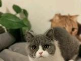 本溪大型猫舍专业繁殖 蓝猫 蓝白 个个胖虎大包子脸