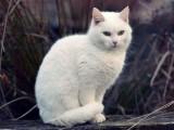 西安斯芬克斯无毛猫卖 纯种幼猫