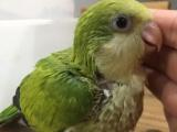 转让会说话的和尚鹦鹉 亚历山大鹦鹉 金太阳鹦鹉 手养品种多