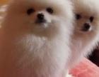 重庆狗狗之家长期出售高品质 博美 售后无忧