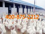 长期供应大种白鹅苗,皖西鹅苗,山东鹅苗价格