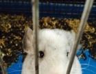 银斑龙猫DDMM