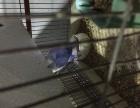 特色牡丹鹦鹉紫罗兰