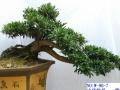 6——中华蚊母盆景出售