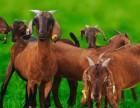 如何挑选种羊?努比亚黑山羊种羊怎样挑选?