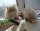 出售极品波斯猫/长毛/红眼/蓝眼/异瞳/颜色多选/包纯种健康