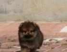 自家大狗生的一窝博美犬可以来家里看大狗品相