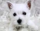 西高地梗类犬 健康纯种 证书齐全 成活率高