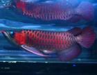 印尼龙舞 红龙 养殖场-珠海渔场