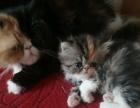 家有加菲猫一群出售