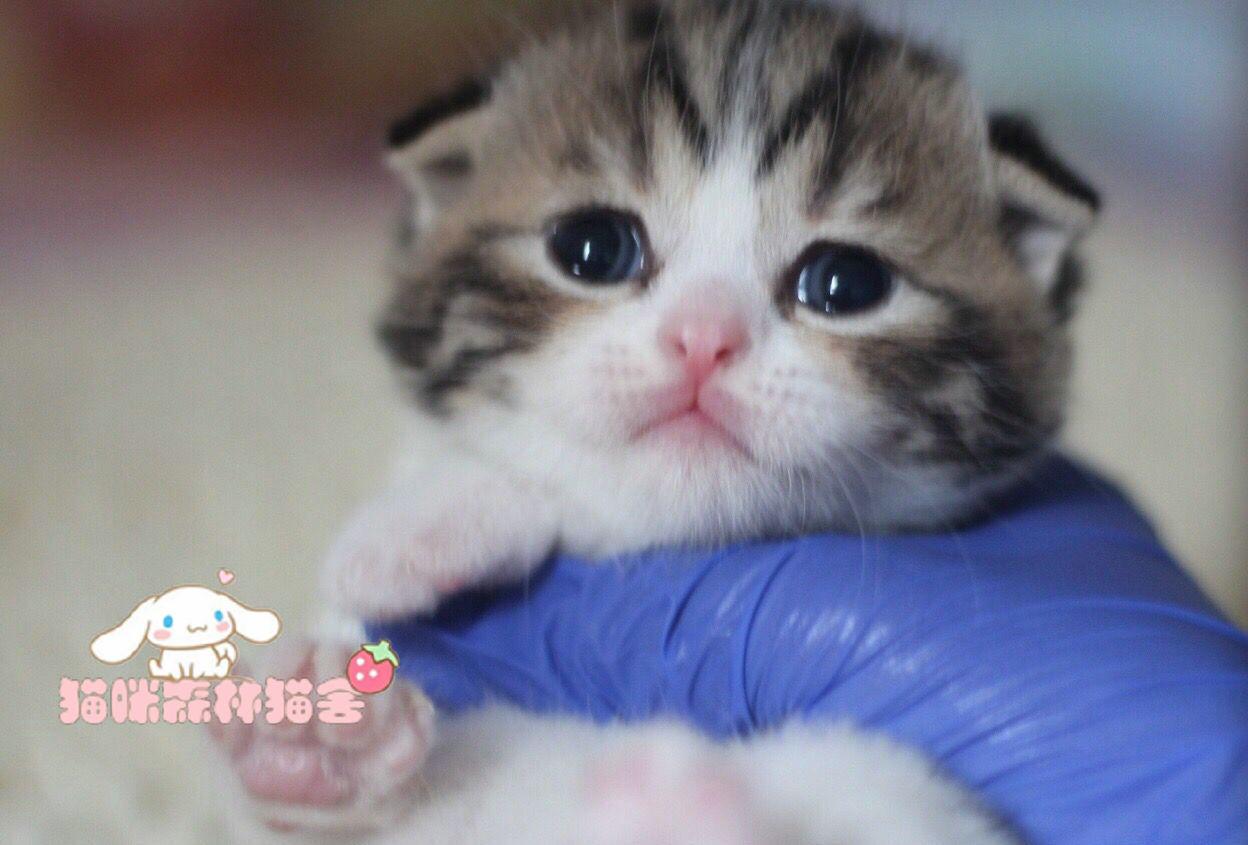 纯种折耳猫出售 疫苗做齐 终身质保签协议