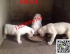 纯种斯塔福犬价格图片 斯塔福犬幼崽多少钱一只