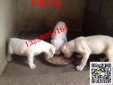 一对两个月的杜高犬幼犬多少钱小杜高犬的价格图片