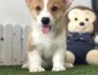 哪里卖纯种柯基犬 珠海双色柯基多少钱 珠海三色柯基犬的价格