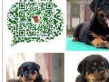 正规犬舍直销纯种罗威纳幼犬疫苗证书齐全