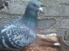 老鸽信鸽幼鸽品质保证