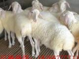 云南肉驴养殖肉羊养殖利润