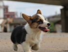 本地出售纯种威尔士柯基幼犬 健康有保障 可签协议免费送货